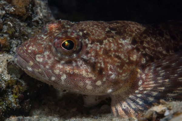 foto-taucher-unterwasserfotografie-baikalsee-goby6E091FC0-C835-FF49-194C-FC514CE53B47.jpg