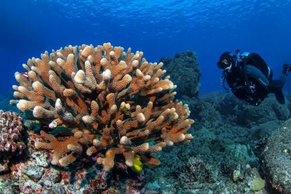 20-foto-taucher-unterwasserfotografie-hawaii-kona-hirschkoralle-taucher497C66DF-319F-BC20-8978-C5E5AA7D20CC.jpg