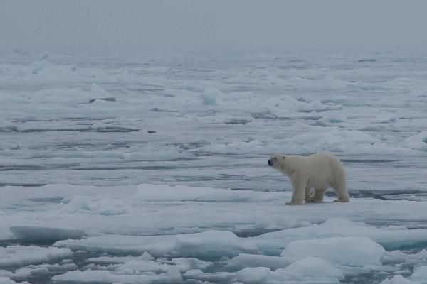 12-foto-taucher-fotografie-arktis-svalbard-packeis-eisbaerB0F7A10B-A0A2-DD54-2793-26C3CF11B29E.jpg