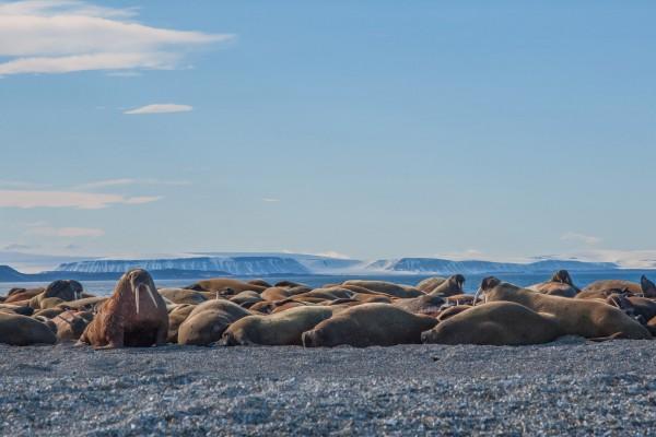 15-foto-taucher-fotografie-arktis-svalbard-packeis-walrosse26C9CC52-6445-6EE9-DE6F-D2A7FFC70BE4.jpg