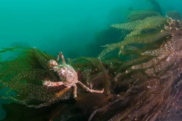 18-foto-taucher-unterwasserfotografie-arktis-svalbard-krabbe5BD0FA0E-7CED-BAC5-70F7-CF0554AD9796.jpg
