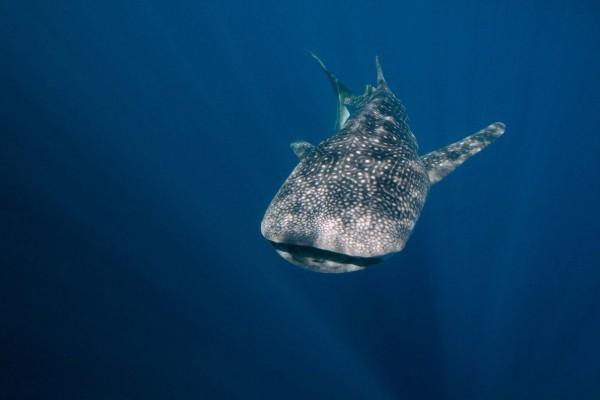 01-foto-taucher-unterwasserfotografie-indonesien-papua-cenderawasih-bay-walhaiE3AEE336-F014-C893-13CB-F065EDE21FEC.jpg