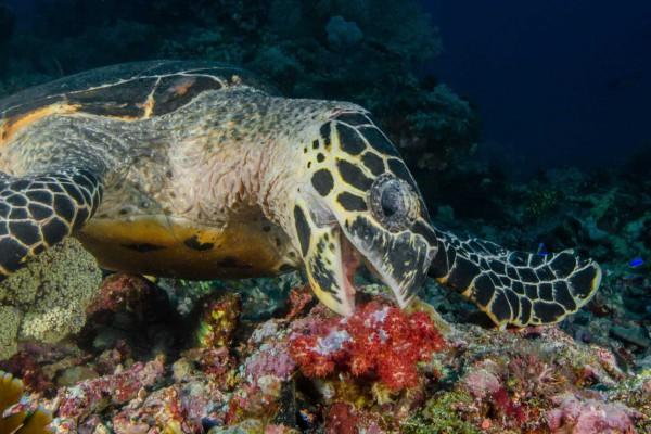 foto-taucher-unterwasserfotografie-indonesien-komodo-turtleA89FFB38-BC85-CB88-F112-E328FCAD2B84.jpg