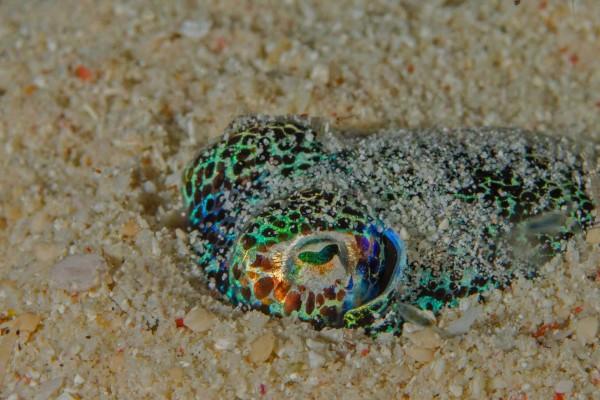 foto-taucher-unterwasserfotografie-indonesien-tintenfisch2E5A0DE9-2D34-3E75-43D1-14D91635ABBB.jpg
