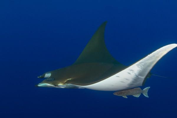 foto-taucher-unterwasserfotografie-azoren-princess-alice-bank-mobula-s-y-saildive-liveboard-katamaran-waterworld-tauchreisen601E06BD-24C1-3A5D-46E0-BFA02F55D6EB.jpg