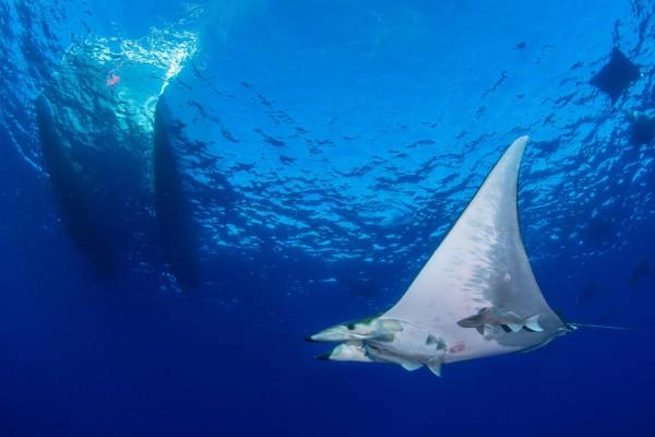 foto-taucher-unterwasserfotografie-azoren-princess-alice-bank-mobula-s-y-saildive-liveboard-katamaran823834D1-DECA-94D7-CDAB-C044E40D26B9.jpg