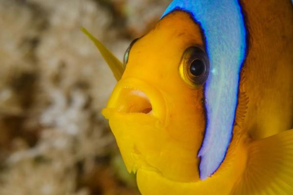 foto-taucher-unterwasserfotografie-aegypten-amphiprion050D666B-FAF6-24CD-2D82-AC04829E2BCF.jpg
