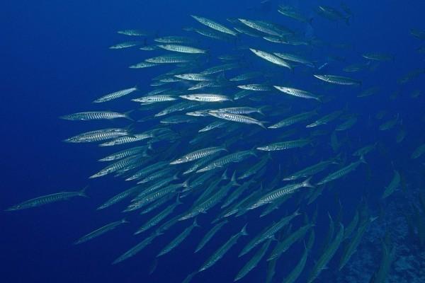 foto-taucher-unterwasserfotografie-aegypten-barrakuda-schwarmB51D7A0B-3651-C1A4-060B-E30658E9C2FE.jpg