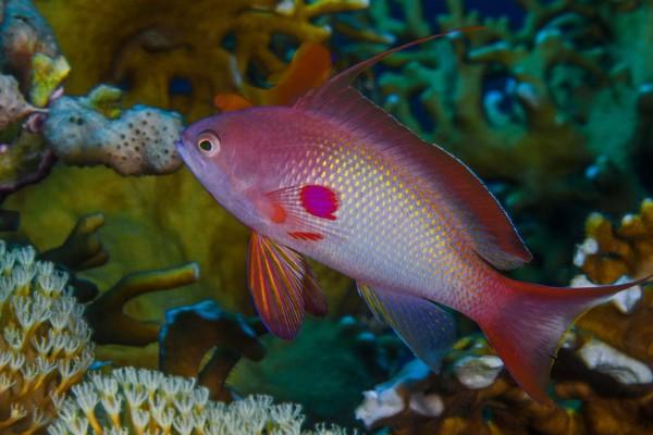 foto-taucher-unterwasserfotografie-aegypten-fahnenbarsch7F42304C-7C1E-500F-DF02-99849562BAC2.jpg