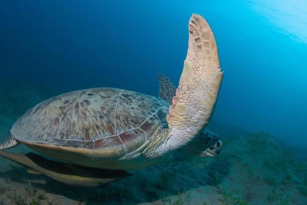foto-taucher-unterwasserfotografie-aegypten-schildkroete20622ECE-2974-0FCB-1276-466239EFC574.jpg
